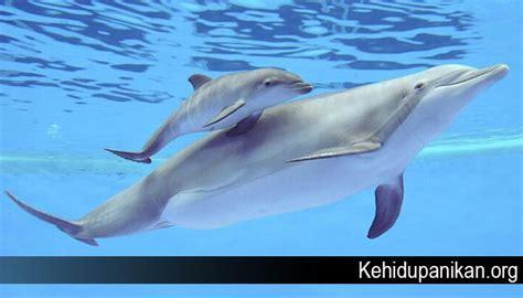 fakta lumba lumba  mungkin  kamu ketahui jenis kehidupan ikan