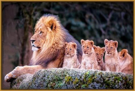imagenes de leones image gallery leone s bebes