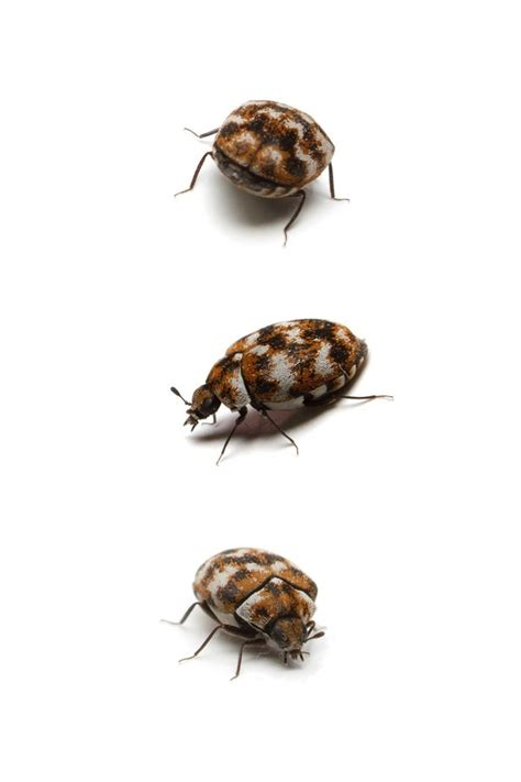how to get rid of carpet beetles in my bedroom how to get rid of carpet beetles the easy way