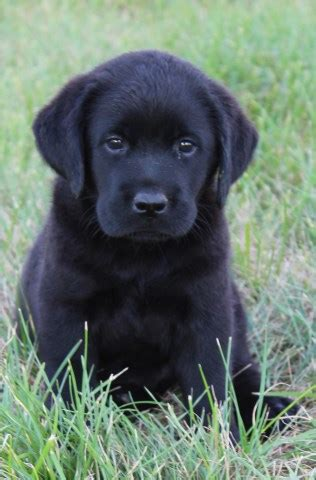 free lab puppies in indiana labs labrador retriever breeder in winamac indiana