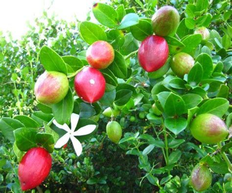 Wallpaper Bunga Plum | mengenal buah natal plum carissa macrocarpa bibitbunga com