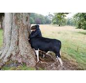 Bullock Gets Head Stuck In Tree At Trelissick House
