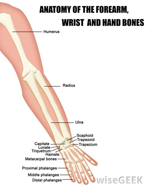 forearm bones diagram what is the flexor carpi radialis with pictures