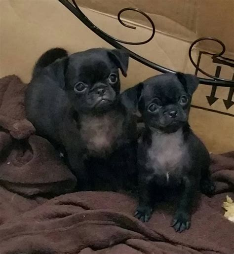 chihuahua pug puppies for sale stunning pug chihuahua puppies for sale basildon essex pets4homes