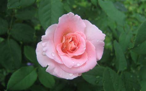www rose rose wallpaper pink rose hd wallpaper download free