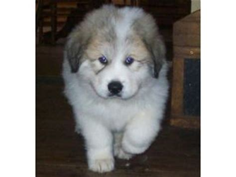 great white pyrenees puppies for sale great pyrenees puppies for sale oklahoma breeds picture