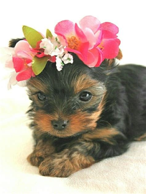 teacup yorkie how much do they cost m 225 s de 25 ideas incre 237 bles sobre teacup yorkie en yorkies cachorritos