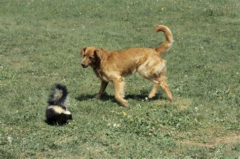 rid  skunk smell dogtime