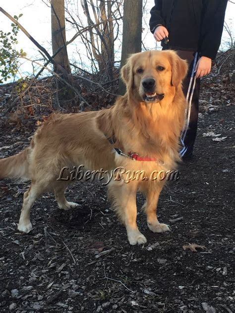 liberty run golden retrievers golden retriever puppies from liberty run golden retriever breeders breeds picture
