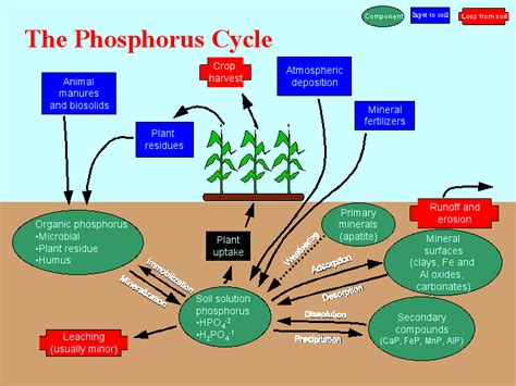 the role of phosphorus in life processes pgm capital