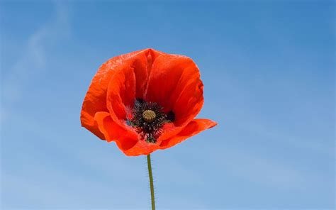 best of popy 14 fascinating facts about poppies the telegraph