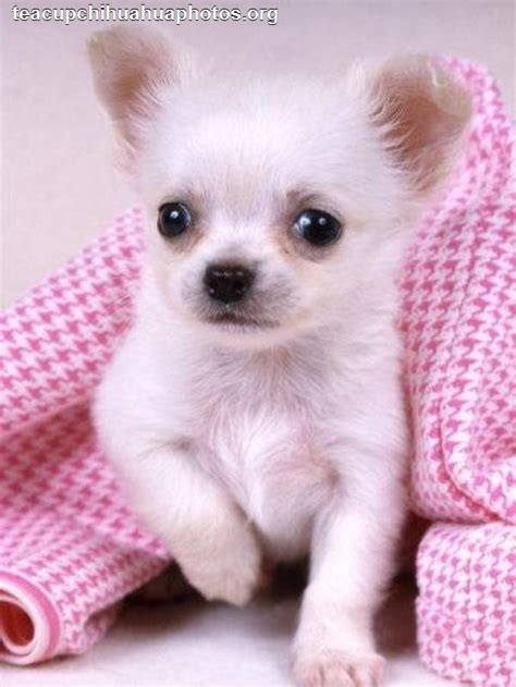 chihuahua puppies for sale in va micro teacup chihuahua puppies for sale