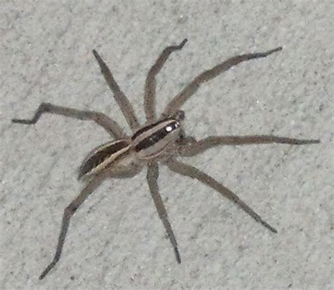 rabid wolf spider what s that bug