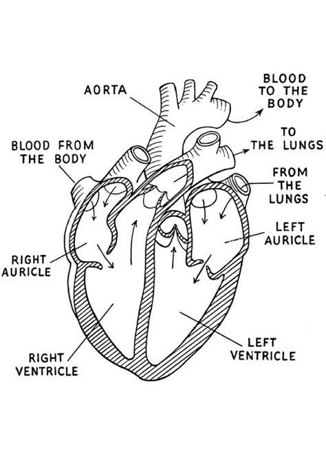 coloring page of a human heart disegno da colorare cuore cat 16644