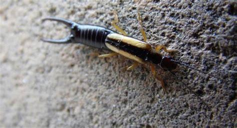 Earwigs Pest Control Services: Are Earwigs Dangerous ...