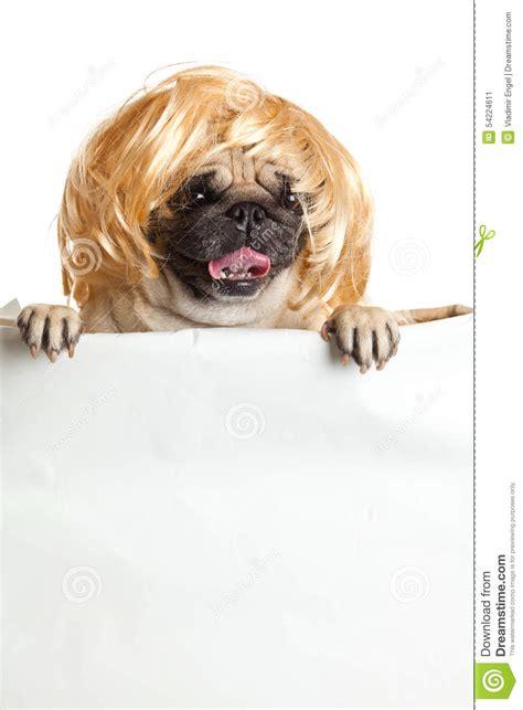 pug with wig pugdog with bunner isolated on white background design sign stock photo image