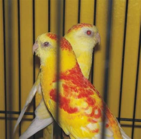 birds for sale san diego male red rump parakeet rumps parrots rumps for sale in pakistan pets animals for sale