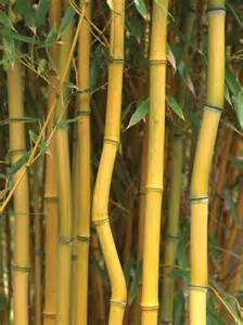 types of ornamental bamboo plants bamboo plants hgtv