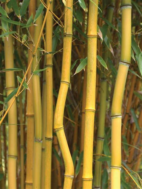 types of ornamental bamboo plants bamboo plants hgtv