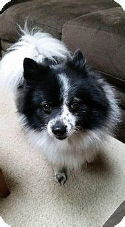 pomeranian puppies rochester ny 17 best images about spitz aawe doptables on chow chow adoption and