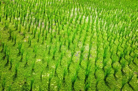 green food field a royalty free stock photo from photocase detail of green rice field crop royalty free stock
