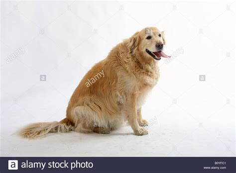 overweight golden retriever golden retriever overweight stock photo royalty free image 17815169 alamy