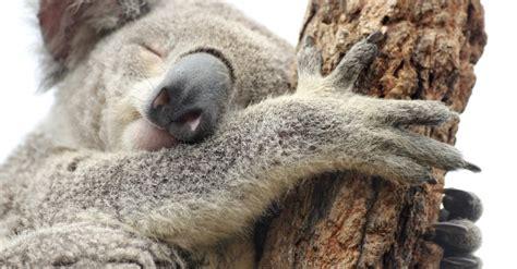 koala schlaf 201 tudier en australie les bourses disponibles node