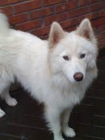 Years ago for sale dogs samoyed liverpool