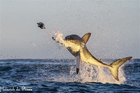 baby shark weight great white sharks cage diving hermanus gansbaai