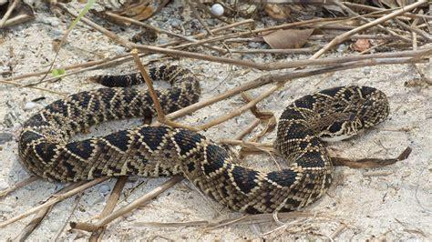 bit by rattlesnake 66 bitten by rattlesnake at volusia county landfill