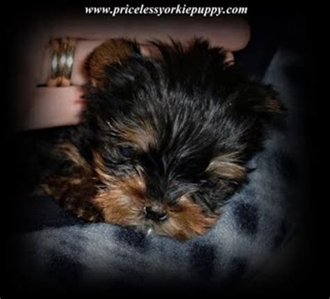 teacup yorkie puppies for sale in michigan priceless yorkie puppy