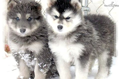 wolf husky puppies for sale meet blue coat a wolf hybrid puppy for sale for 700 blue coated hybrid