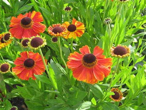 garden flowers and plants how to grow heleniums saga