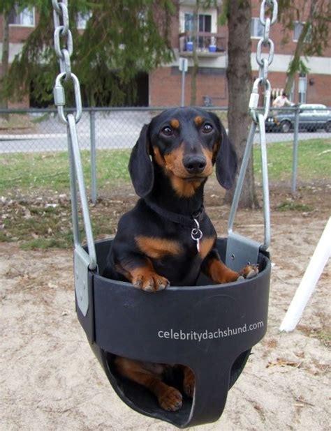 dog in baby swing 374 best crusoe celebrity dauschaunds images on pinterest