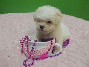 bichon frise puppies florida bichon frise puppies for sale bichon bichonpoo puppies for sale in jacksonville fl
