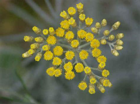elicriso fiori piante aromatiche elicriso helichrysum italicum roth don
