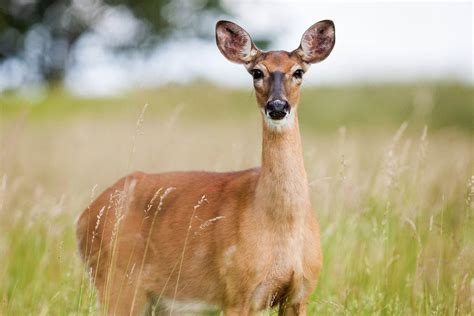 deer animal facts  images