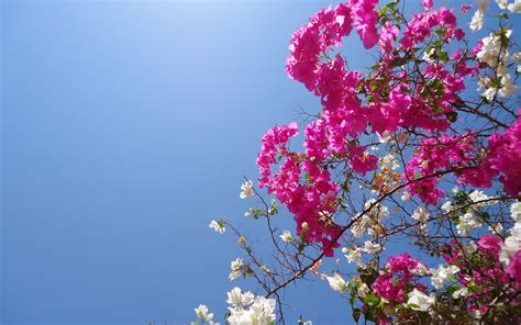 bougainvillea flowers wallpapers hd pictures  hd