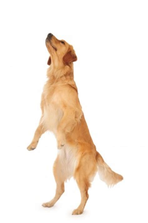 golden retriever legs give out shaping behavior an advanced method