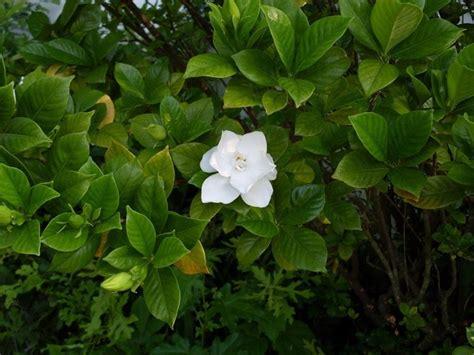 gardenia giardino la gardenia piante appartamento curare la gardenia