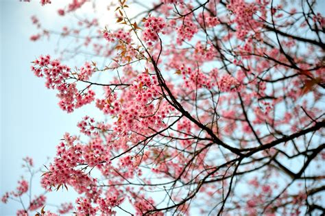 images of cherry blossoms cherry blossoms time com