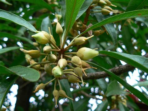 australian sapotaceae