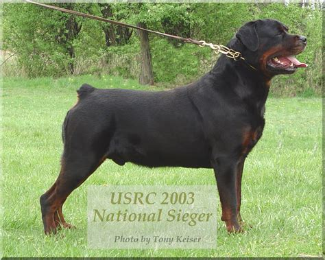 cachorro rottweiler n 243 s os cachorros no 227 o ra 231 as de cachorro rottweiler