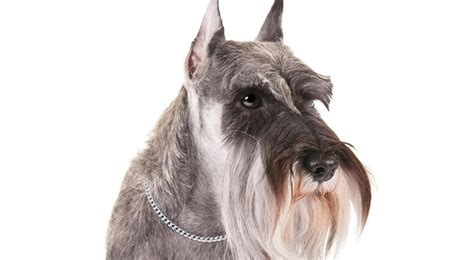akc puppy breeders miniature schnauzer breed information american kennel club
