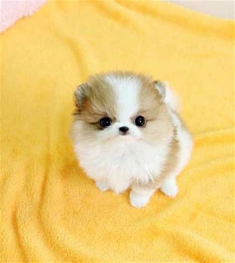 teacup pomeranian puppy the teacup pomeranian does it exist and if so it is a pet