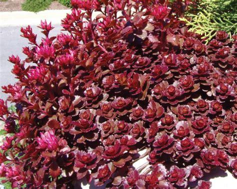 sedum flower seeds and plants urban farmer seeds