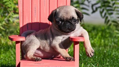 pug mechanic 15 photos of baby pugs that will make you want one