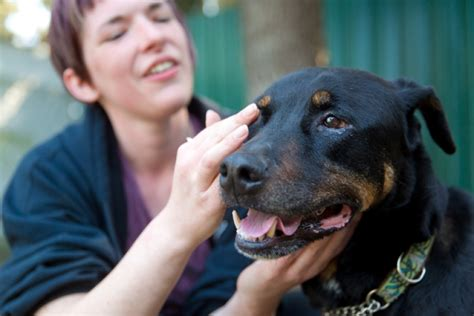 rottweiler eye infections operating daily in richmond s no kill zone