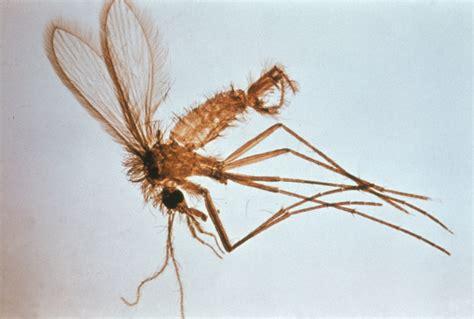 sand fliese phlebotomus