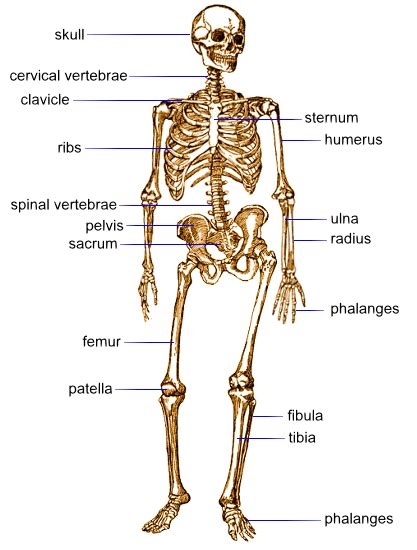 difference between and skeleton diagram human skeleton with bones labeled the bones of the